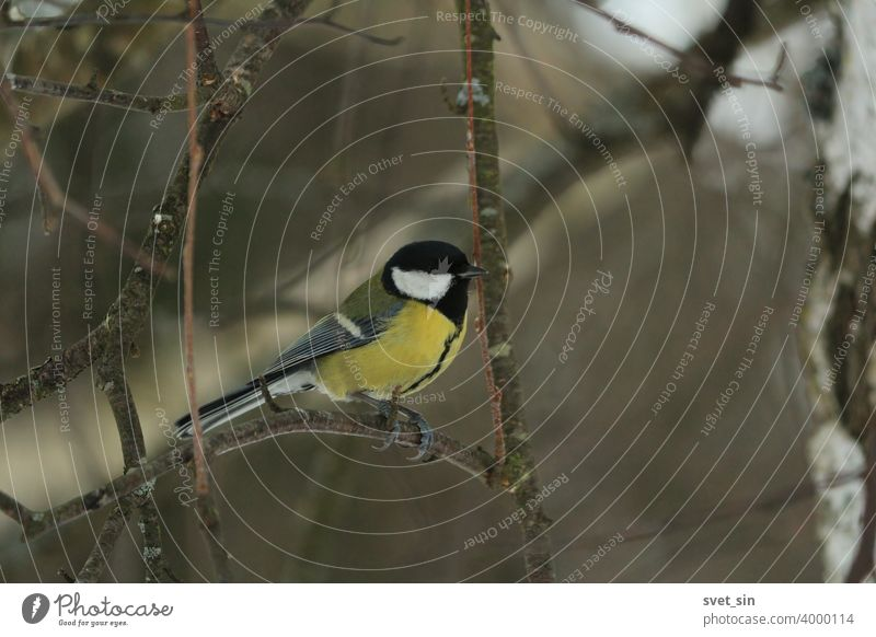 Great tit with a yellow belly, green wings, black cap and tie sits on a birch branch on a cloudy winter day on a dark background. Titmouse in winter. animal