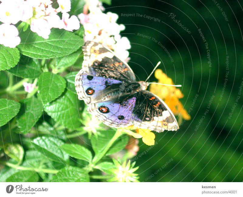 butterfly :: butterfly Butterfly