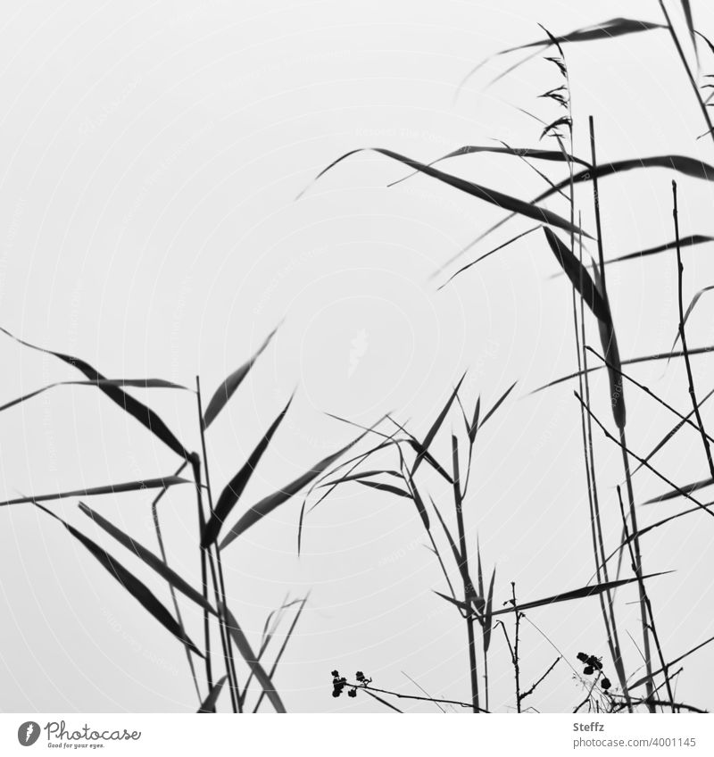 Sea grass in front of an invisible lake Common Reed Seaweed reed Reeds grasses Lakeside Reduced Nordic tall grass Attentive attentiveness Minimalistic