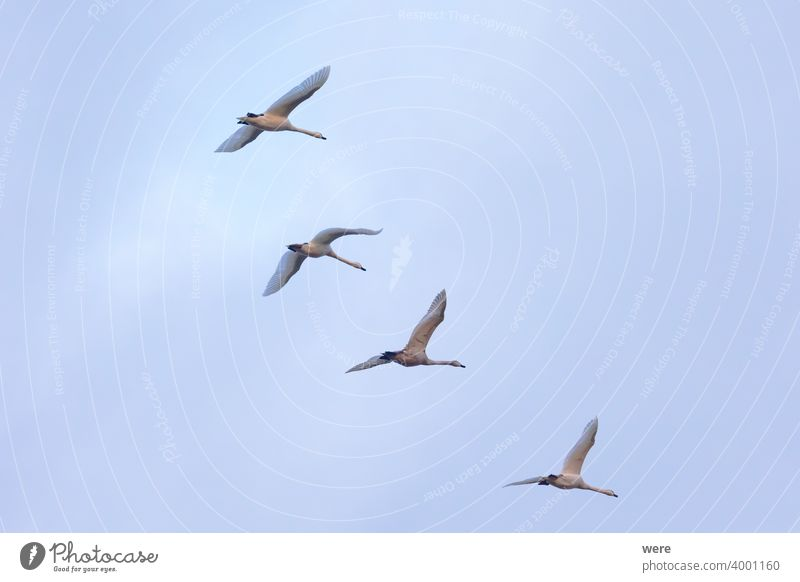 four young swans fly in formation in the sky Animal Bird cloudy sky Copy Space Elegant feathers Fly flying in formation Landscape Majestic Mysterious Nature