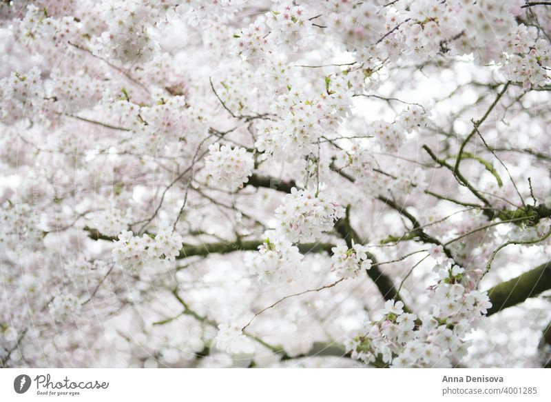 White Blossom Cherry Tree during Spring Season sakura blossom cherry tree spring background flower pink nature white garden season blooming isolated park branch