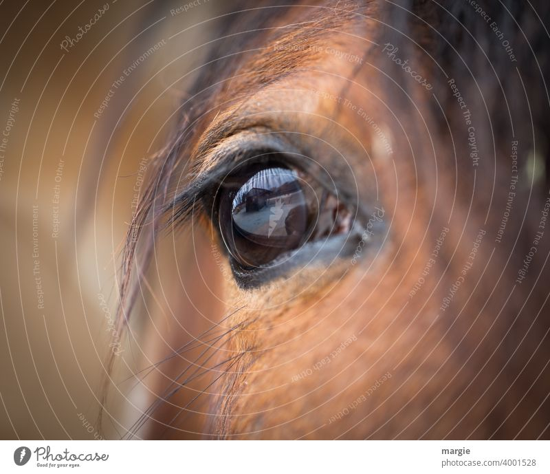 The eye of a horse Horse Animal Colour photo Animal portrait Brown Pelt Eyes Farm animal Close-up animal eyes Love of animals Animalistic Wild Head Hair