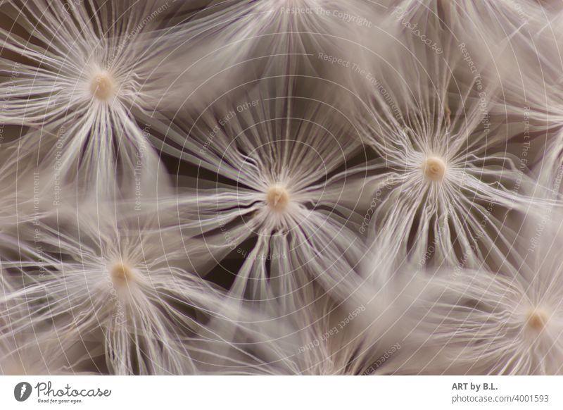 Macro of seeds of a dandelion Sámen Dandelion buttercup Nature macro Flower Faded Delicate Noble Pure Purity