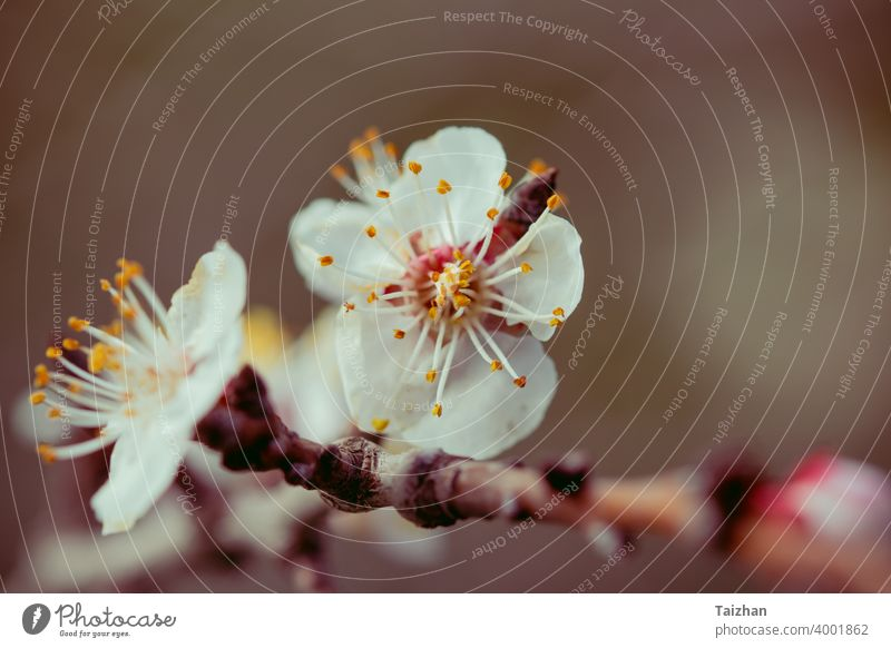Blossoming cherry trees in spring. close up japan flower nature season background blossom softness abstract gardening japanese march petal sakura springtime