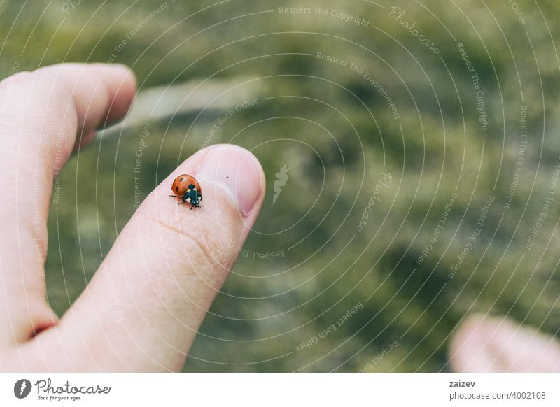 little ladybug perched on the thumb skin of a girl's hand human trust fingernail peace spot friendship hope team wish person ladybird love life luck flier