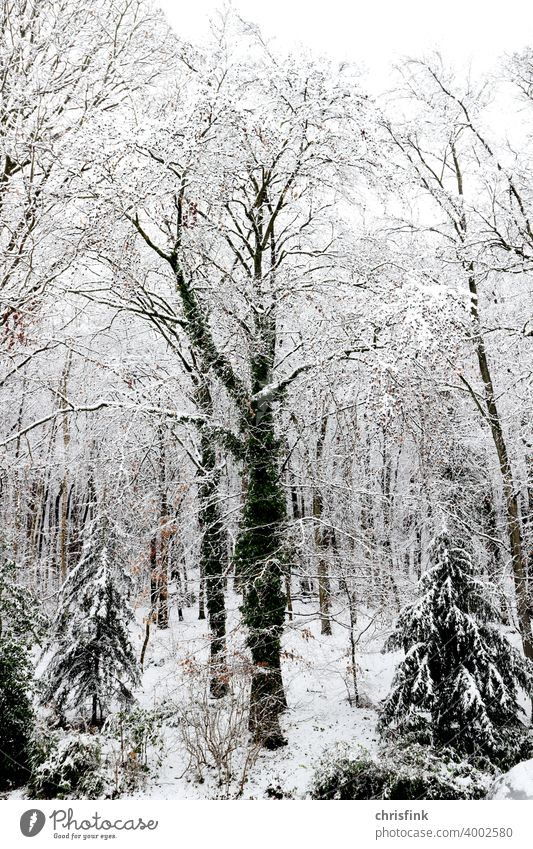Tree with ivy in snow Forest Nature Leaf Branch Snow Winter Cold White Frost chill Ice Weather natural hazard vacation snow-laden