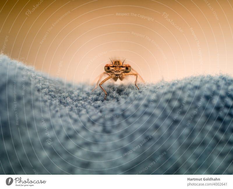 Nahaufnahme von einer gelben Libelle die auf einen Gewebe sitzt und mit ihren großen Augen direkt in die Kamera schaut. Angesicht Vorderansicht Tier