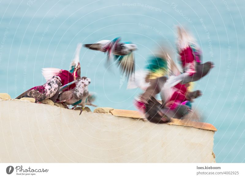 Group of colored post pigeons moving and flying from a roof in front of the ocean, Altea, Costa Blanca, Spain dove bird nature pink animal peace mail sky white