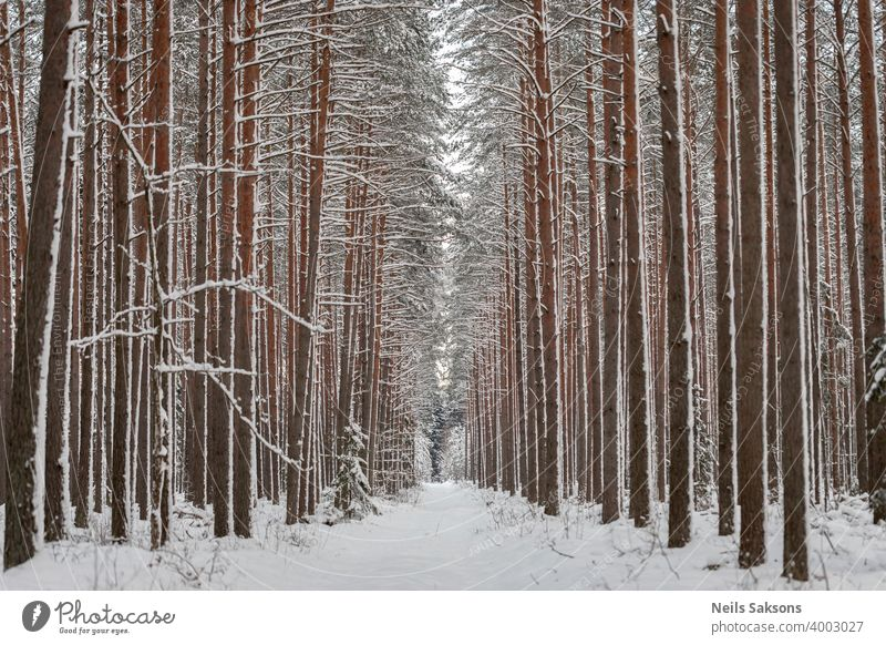 perspective in straight vertical lines painted with pines and snow winter forest tree nature cold white trees landscape birch woods frost season park snowy