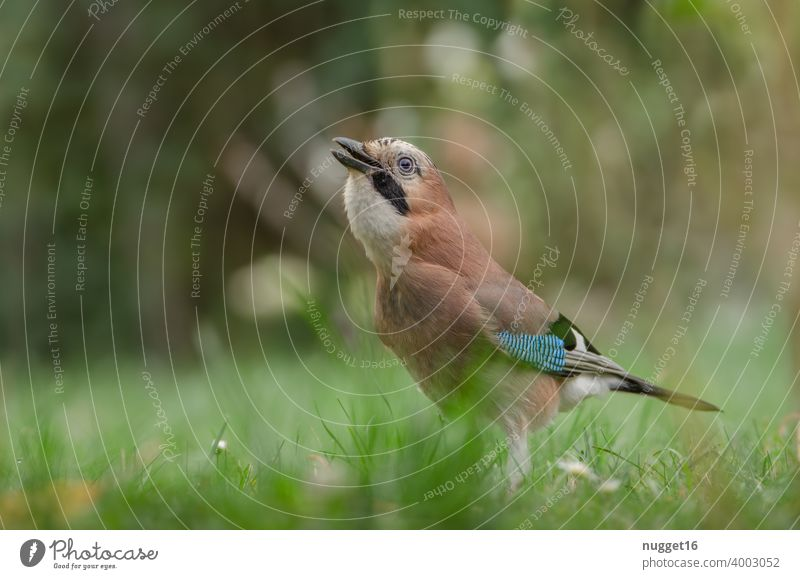 Jay in the meadow Bird Animal Exterior shot Colour photo Wild animal 1 Day Nature Animal portrait Deserted Shallow depth of field Environment Full-length