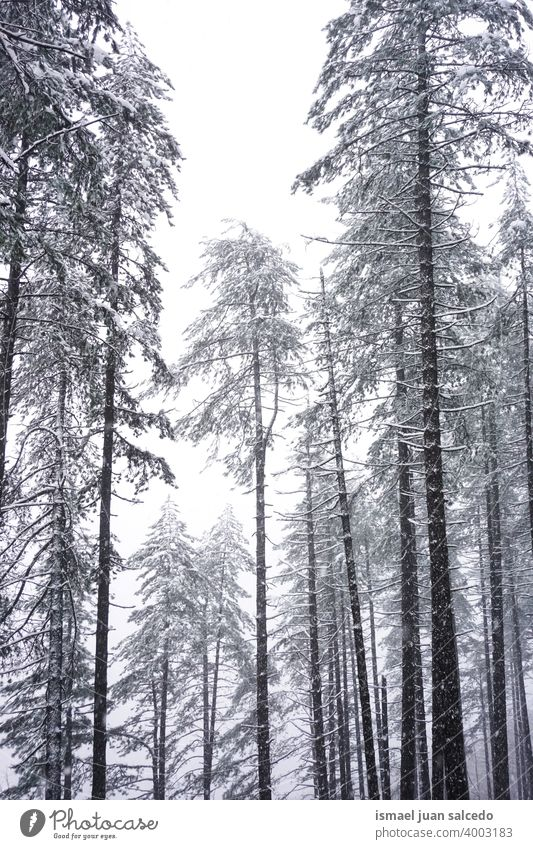 snow on the pine trees in the forest in winter season snowfall wintertime cold cold days white frost frosty frozen ice snowy snowflake weather mountain nature
