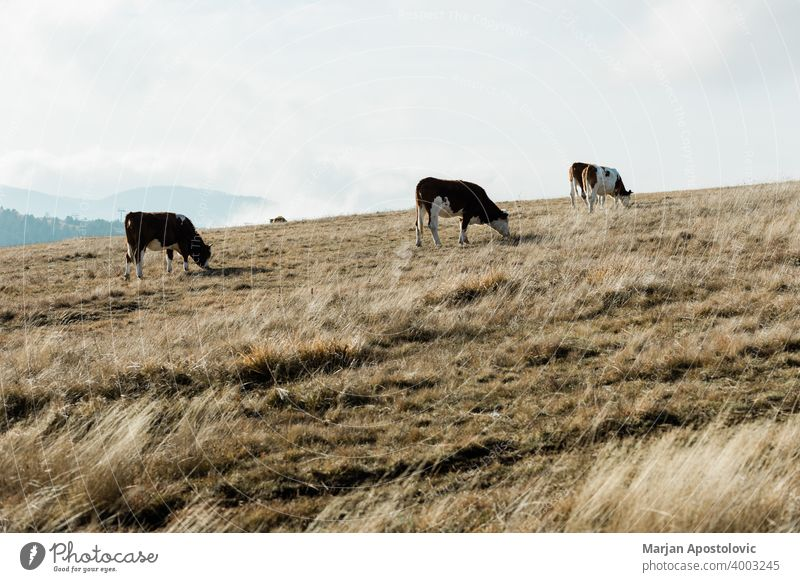 Herd of cows on the mountain top animal animals autumn beautiful cattle country countryside dairy day domestic environment europe european farm farming farmland
