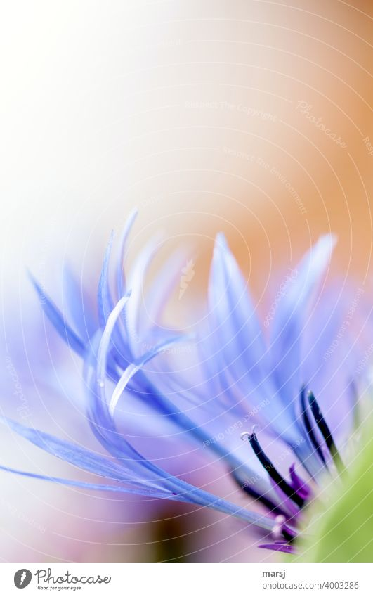 Part of a mountain knapweed flower Blossom Flower Plant Violet Blossoming Stamp Part of the plant petals Abstract Fine Delicate pastel pastel shades Romance