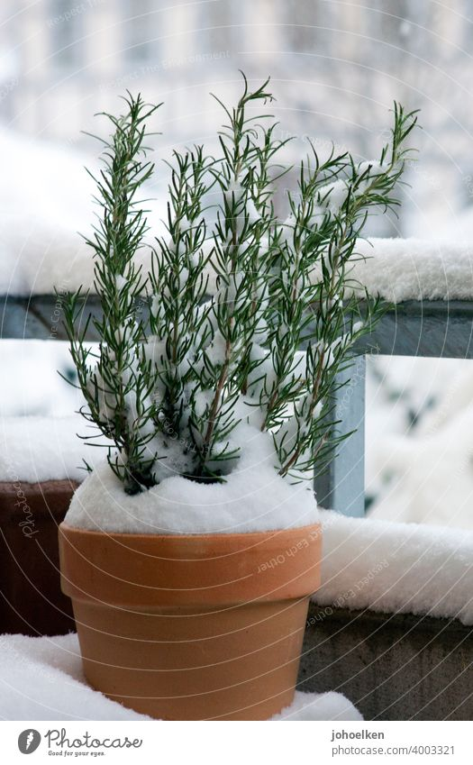 Snowy rosemary in terracotta pot Rosemary Terracotta herbs Balcony Winter chill Fragrance Contrast Terracotta pots twigs snow-covered at home Garden Herb garden