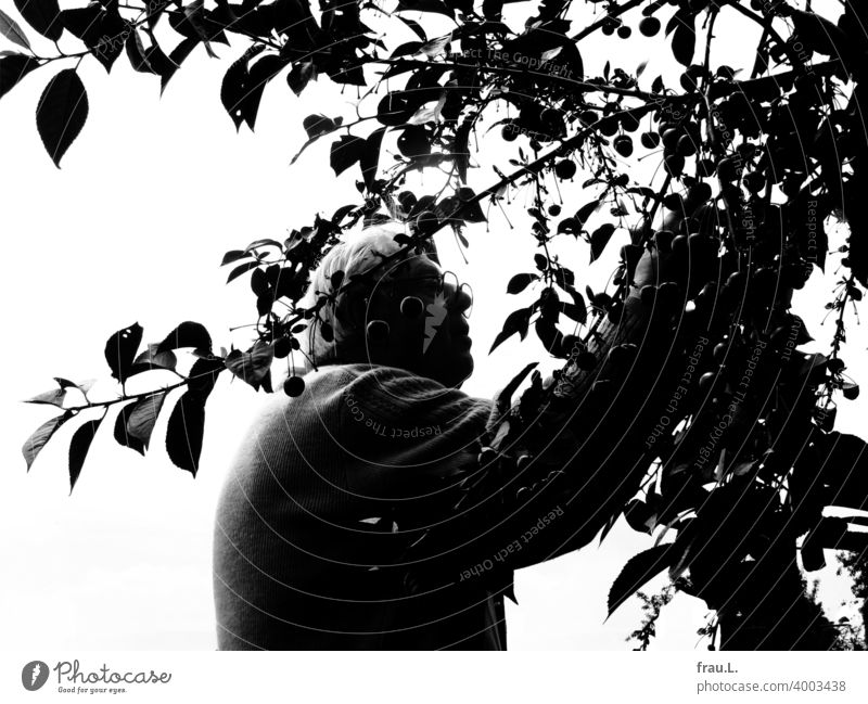 An old man and his cherry tree Cherry harvest cherries Tree Garden plump Summer Man Diligent Old