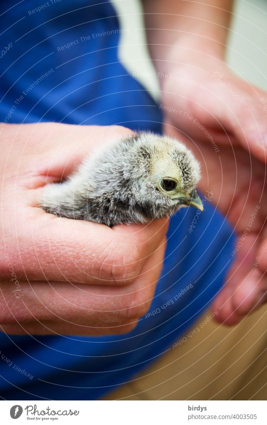 cute chick in the protective hands of a human. Chicken chick Hand stop guard sb./sth. Safety (feeling of) To hold on Trust Baby animal Cute Animal portrait