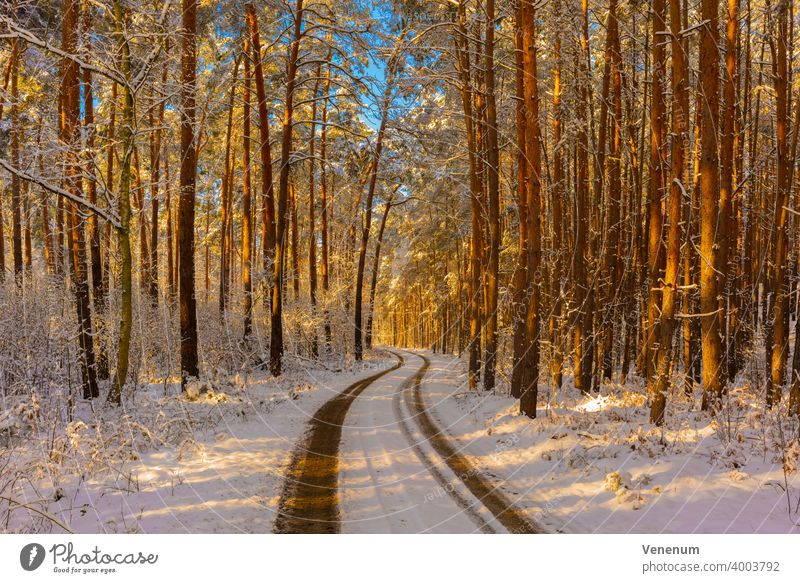 Forest path in winter with snow , the sun shines through the treetops to the forest floor , pine forest forests Tree trees Grass Branch Subsidiaries Nature