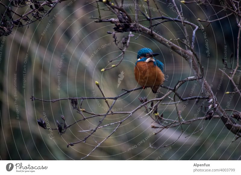 Frost crow from the front kingfisher Kingfisher Animal portrait Wild animal Colour photo Bird Beak Tree Shallow depth of field Freedom Deserted Exterior shot