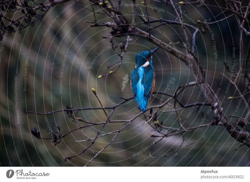 Frost crow from behind kingfisher Kingfisher Animal portrait Wild animal Colour photo Bird Beak Tree Shallow depth of field Freedom Deserted Exterior shot