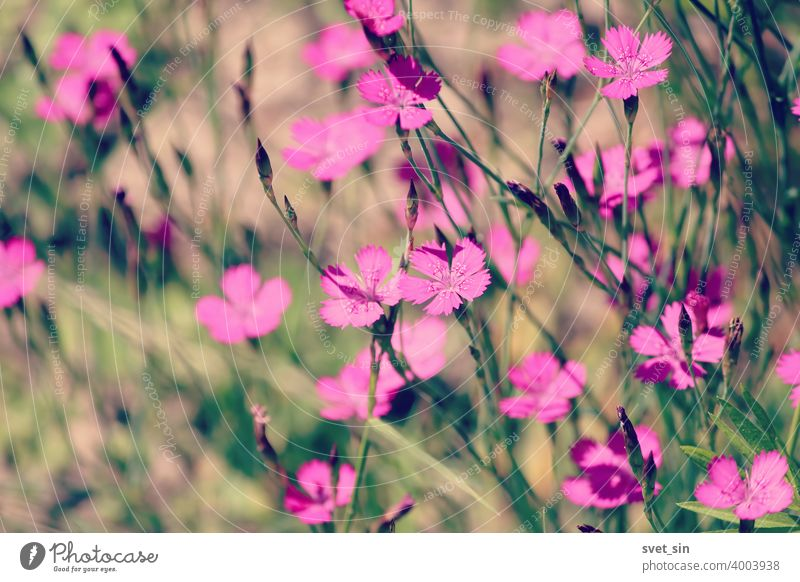 Maiden Pink or Heidenelke or Dianthus deltoides. Lots of Maiden Pink blooming buds on a sunny meadow on a summer day. Many pink wildflowers in a summer meadow. Floral pink green sunny wallpaper.
