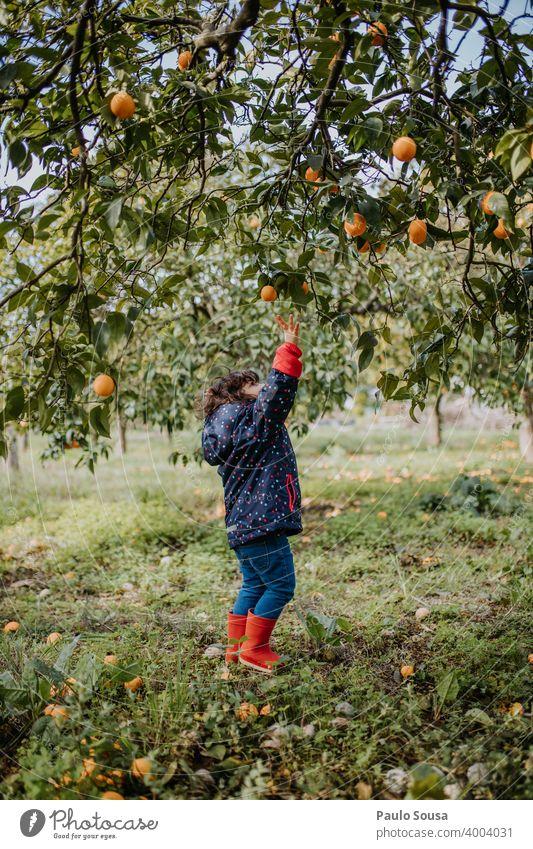 Little girl picking oranges 2-3 years authentic caucasian child childhood family life lifestyle natural nature Orange Fruit Organic produce Organic farming