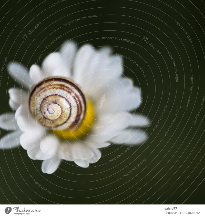 Snail shell and flower Nature Bellis Blossom Spiral Macro (Extreme close-up) Crumpet Shallow depth of field Structures and shapes Pattern Neutral Background