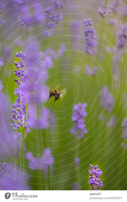 flying bumblebee in lavender field Nature Lavender Summer Fragrance Flower Blossom Plant Bumble bee Violet Medicinal plant Blossoming Colour photo Garden pretty