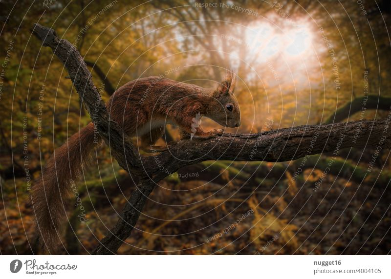 Squirrel at sunrise in autumn forest Animal Nature Cute Colour photo Wild animal Exterior shot 1 Day Deserted Animal portrait Brown Environment