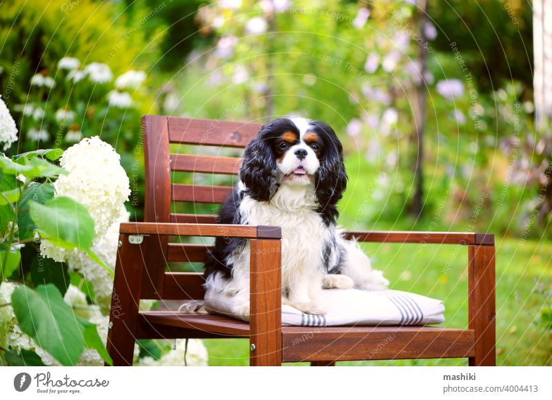 cavalier king charles spaniel dog relaxing outdoor in summer garden, sitting on wooden chair pet purebred animal white portrait breed adorable cute domestic