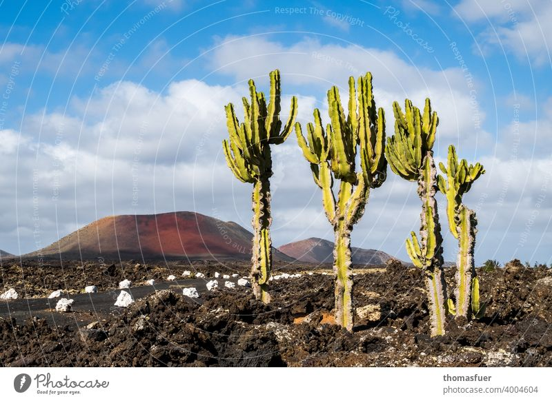 Cacti on Lanzarote on the way with volcano and lava Panorama (View) Shadow Light Day Exterior shot Colour photo Moody Calm Nature Adventure Climate Horizon