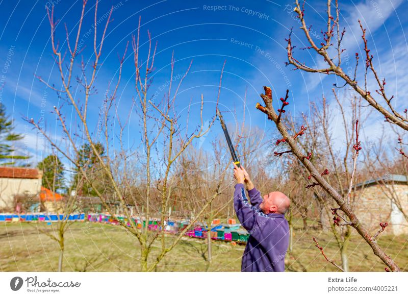 Gardener is cutting branches, pruning fruit trees with pruning shears in apiary Agriculture Apiary Apiculture Apple Beehive Beekeeping Botany Branch Canopy Care