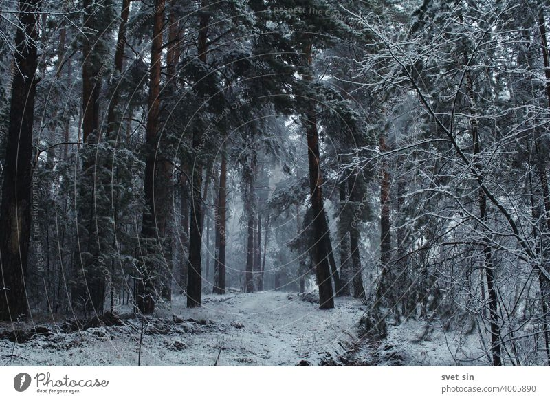 Snowfall in the pine forest. Mystical fairytale winter forest landscape in a snow storm. Snow-covered road in a pine forest. background beautiful black branch
