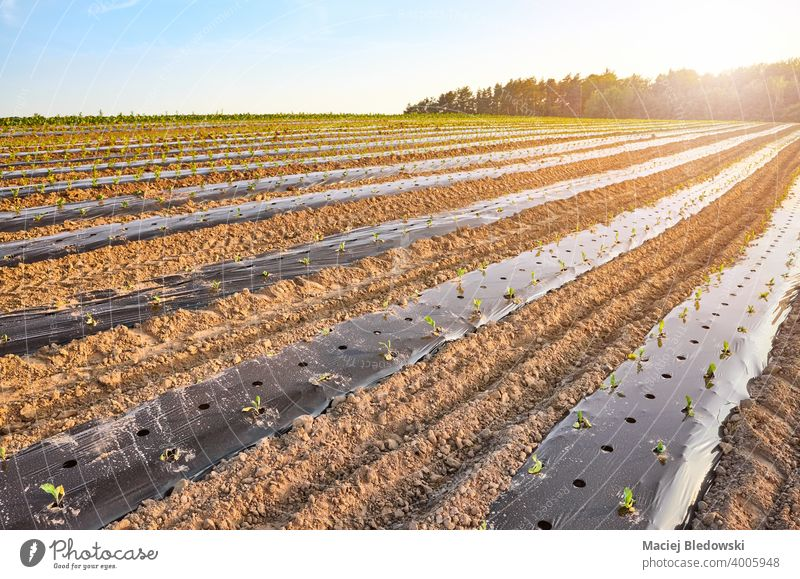 Organic farm field with patches covered with plastic mulch at sunset. agriculture vegetable foil plasticulture organic eco food produce green plant no people