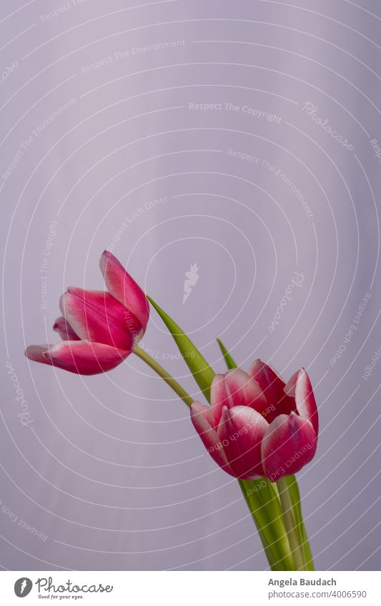two pink and white tulips on gray background in springtime Tulip Blossom Tulip blossom Flower flowers Bouquet Spring Fragrance Odor Fresh lenz Gift Mother's Day