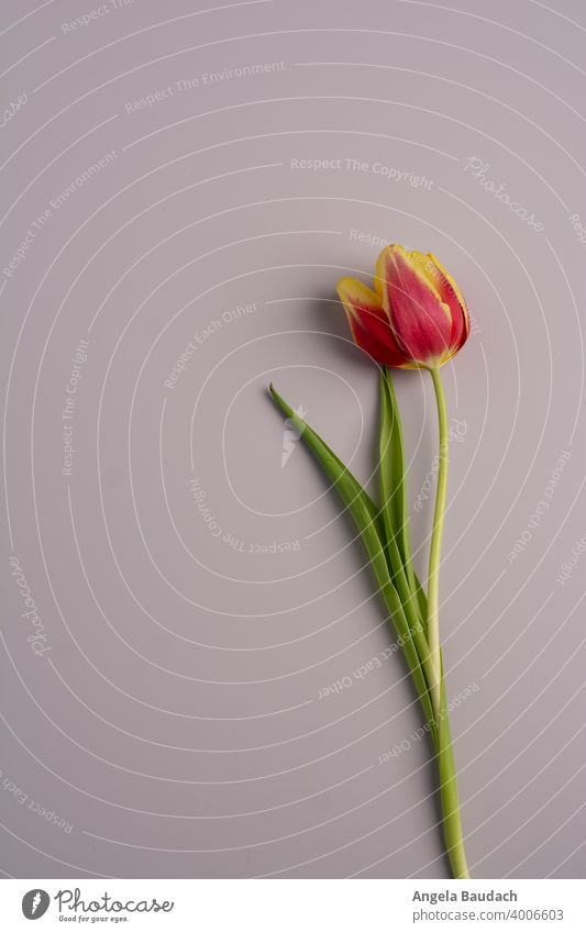 single red and yellow tulip on gray background in springtime Tulip tulips Blossom Tulip blossom Flower flowers Bouquet Spring Fragrance Odor Fresh lenz Gift