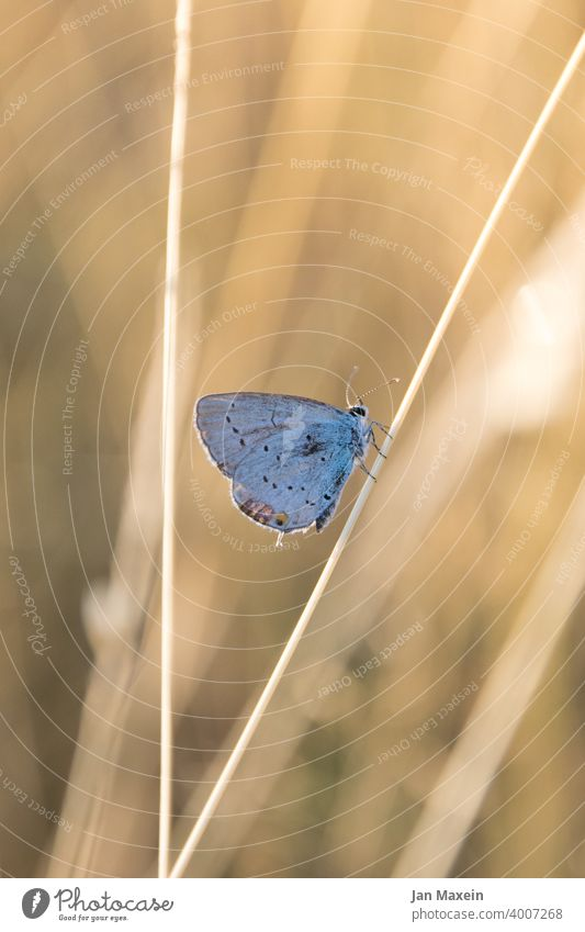 blue Butterfly Polyommatinae Blade of grass Meadow Sunlight Blue Feeler Trunk rigid regungslols Animal Nature Grand piano pretty Plant nature conservation