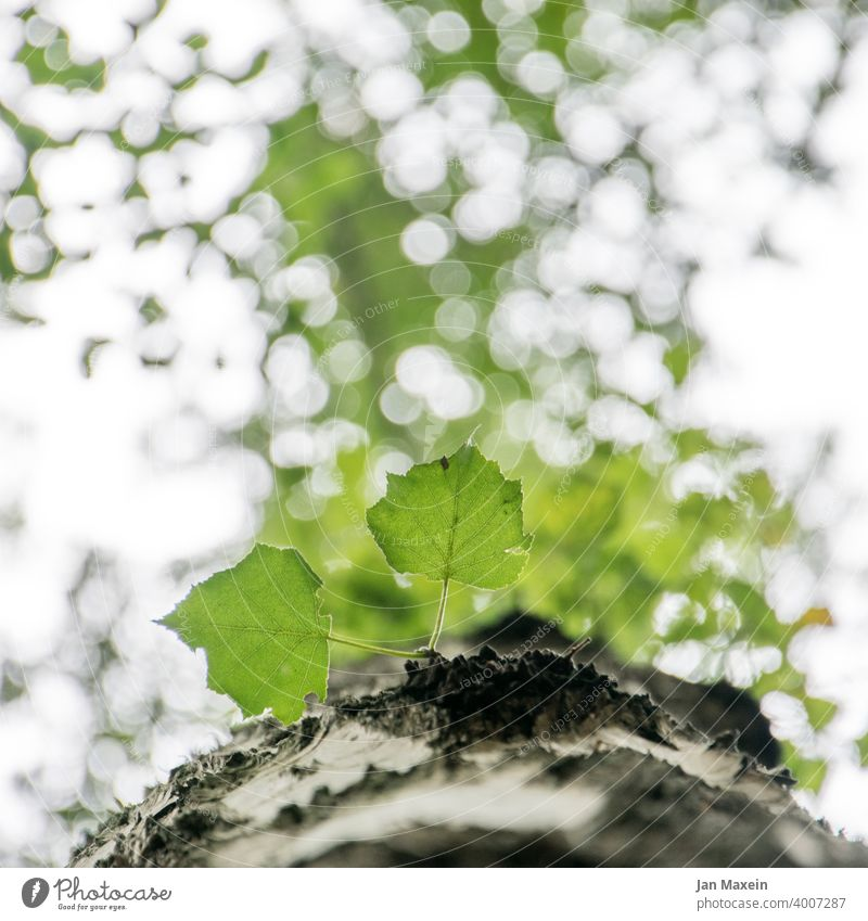 Leaves on tree trunk leaves Tree bark Wood bokeh Worm's-eye view Leaf Nature Plant Forest Green Environment Brown naturally Sky Light Rough peak