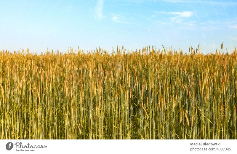 Grain field on a beautiful sunny day. grain rye landscape rural countryside farm harvest agriculture cereal horizon sky blue nature natural green background