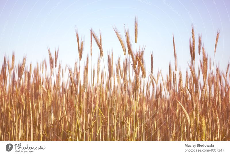 Retro toned picture of a grain field. rye nature retro rural countryside farm harvest agriculture cereal vintage filtered sky background beautiful view photo