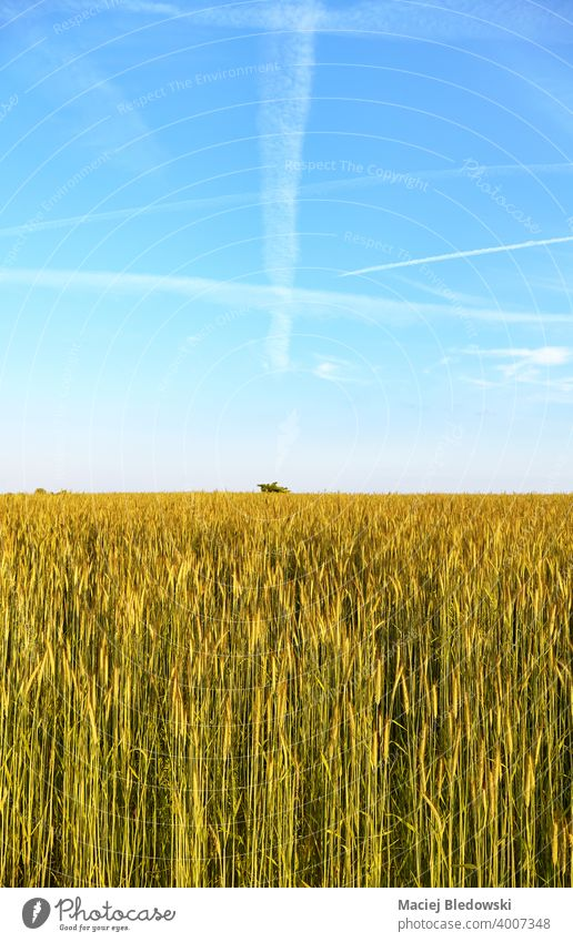 Field of rye on a beautiful sunny day. field grain landscape rural countryside farm harvest agriculture cereal horizon sky blue nature natural green background