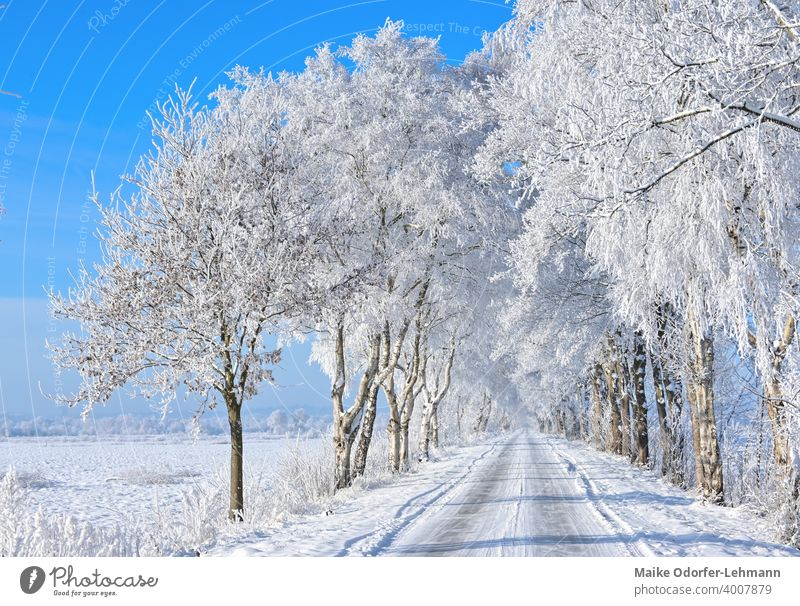 Avenue in sunny winter landscape Hoar frost Snow Frost ice crystals Blue sky icily tranquillity Peace Purity beneficial Winter mood Ice Cold Frozen Freeze White