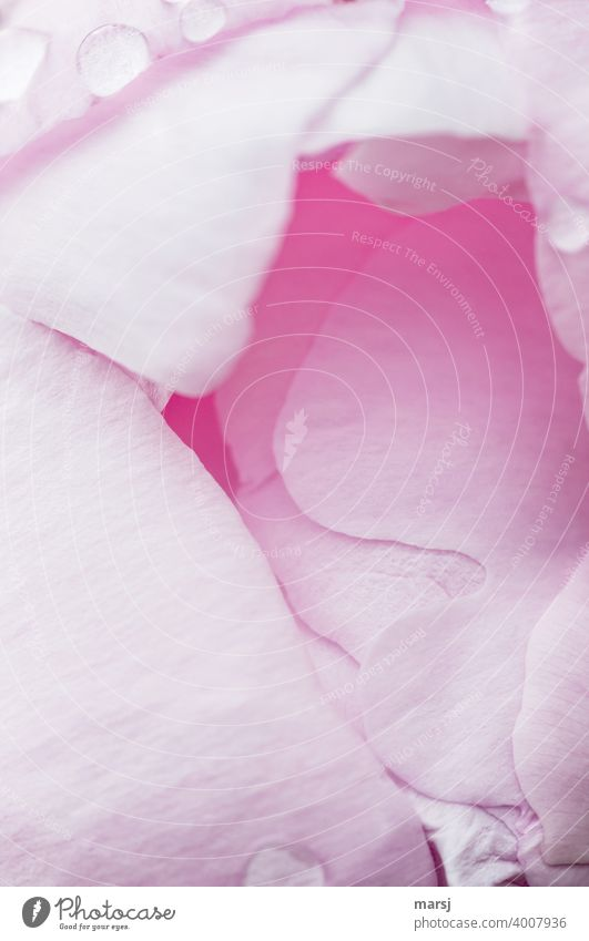 The cotton candy pink interior of an opening peony blossom. Peony Blossom leave Spring Nature Growth pastel shades pale pink girlish Pink Garden Pattern