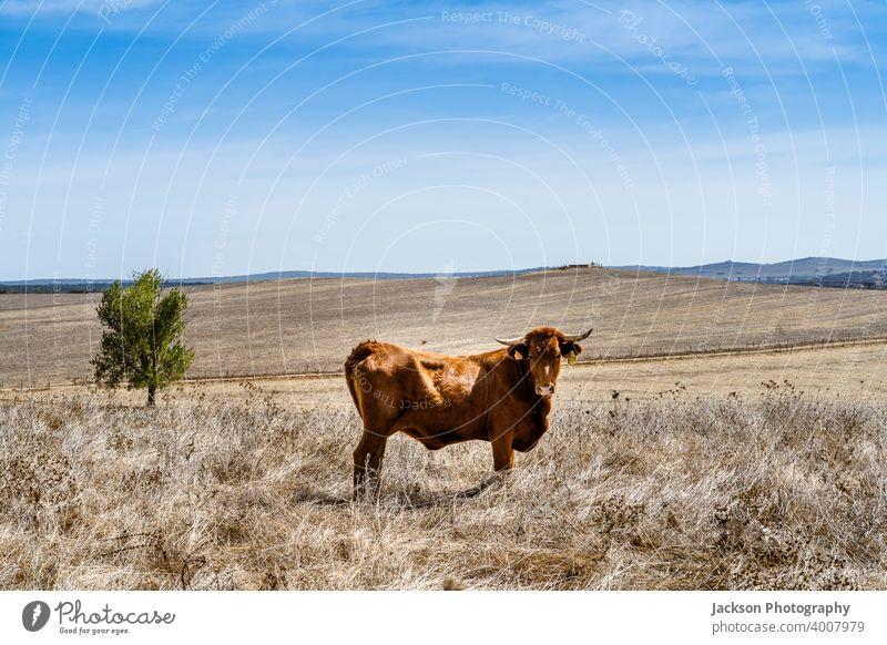 Red cow grassing on dry meadows of Alentejo, Portugal farm portrait alentejo red agriculture alto alentejo animal beef breed brown bull calf cattle