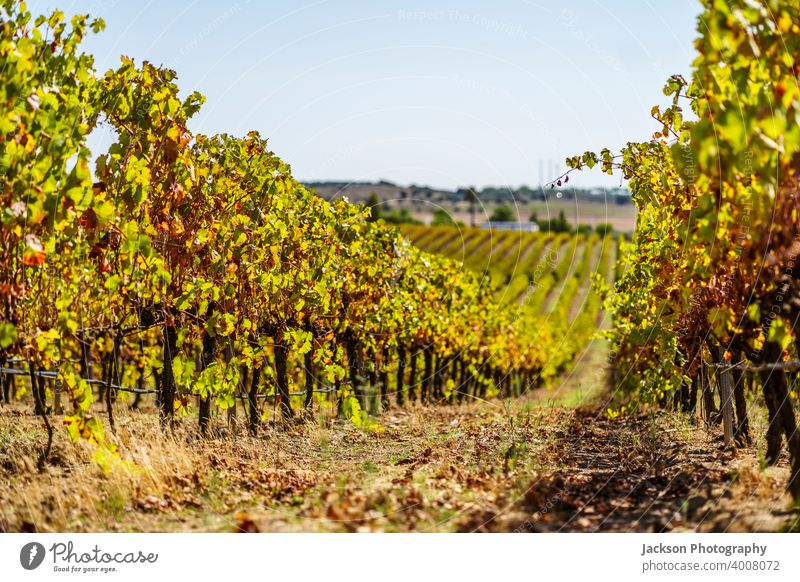 Vineyards of Alentejo during fall, Portugal vineyard viticulture grape alentejo portugal ripe many in a row day sunny agriculture rota dos vinhos wine route