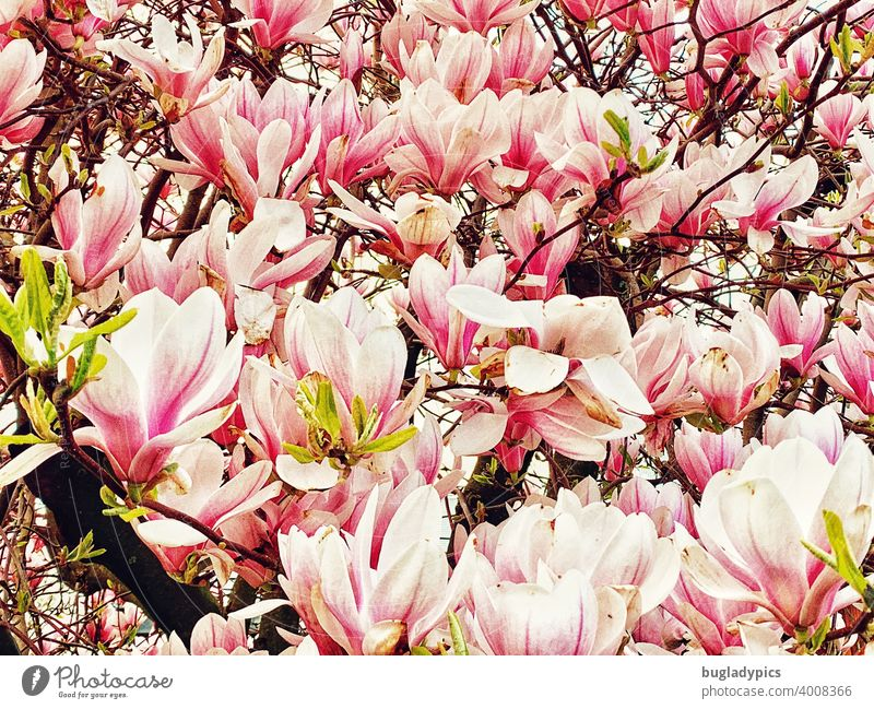 magnolias Magnolia tree Magnolia plants Magnolia blossom magnolia bush magnolia leaves Blossom Plant Tree Blossoming Pink White pink Spring Flower Nature