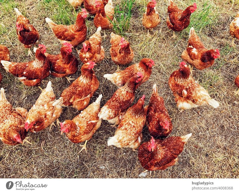 Wild free-range chicken flock fowls Gamefowl birds Flock Lawn Meadow Enclosure Bird Animal Farm animals livestock farming Grass Agriculture Keeping of animals
