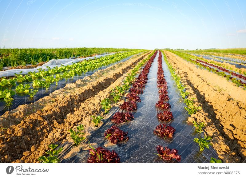 Organic vegetable farm field with patches covered with plastic mulch at sunset. eco agriculture food organic foil industry plasticulture lettuce celery produce
