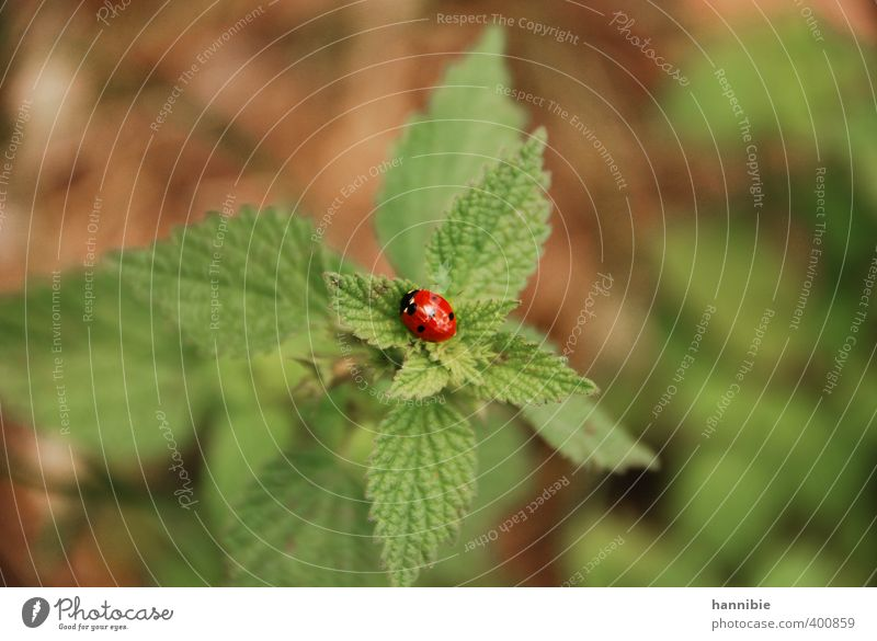 Nature Green Plant Red Animal Leaf Black Small Glittering Round Friendliness Beetle Farm animal Ladybird