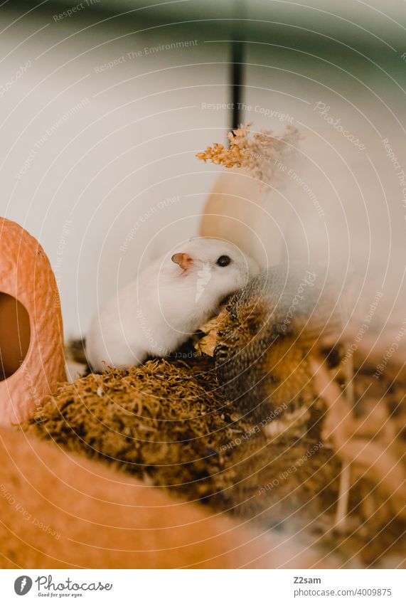 hamsters Hamster Pet rodent Eating Enclosure White Small Cute Pelt Rodent Animal portrait Shallow depth of field