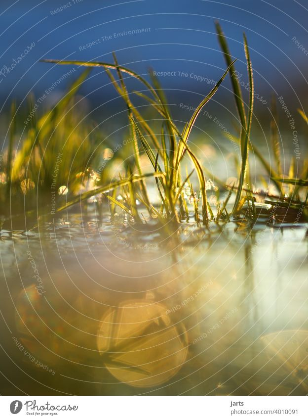 Grasses in the water at sunset Water Brook Sunset Light reflection Water reflection Sky Reflection Deserted Exterior shot Colour photo Nature Surface of water